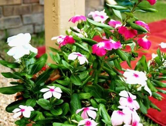 Можно ли барвинок выращивать как комнатное растение?