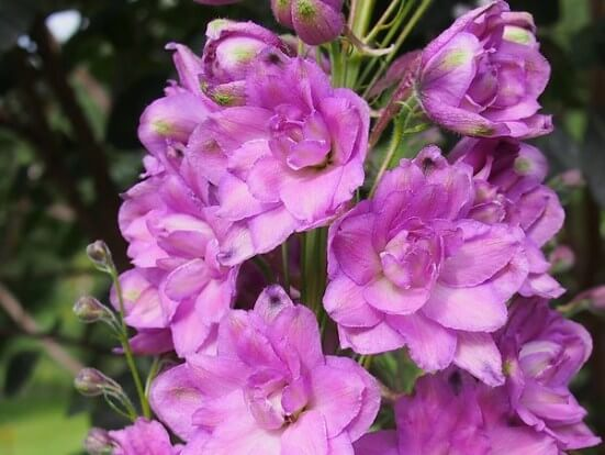 Delphiniums_New_Millennium.jpg