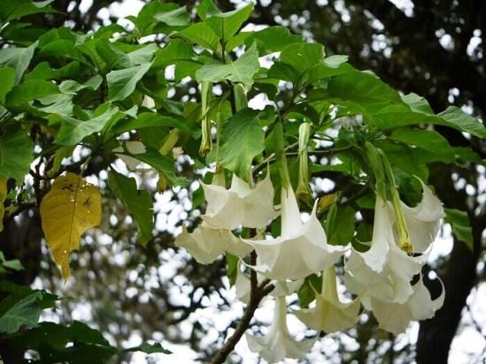 Датура фото цветов