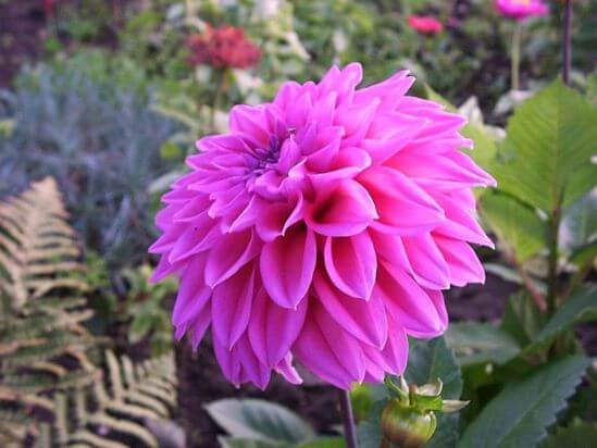 Dahlia_Lavender_Perfection.jpg