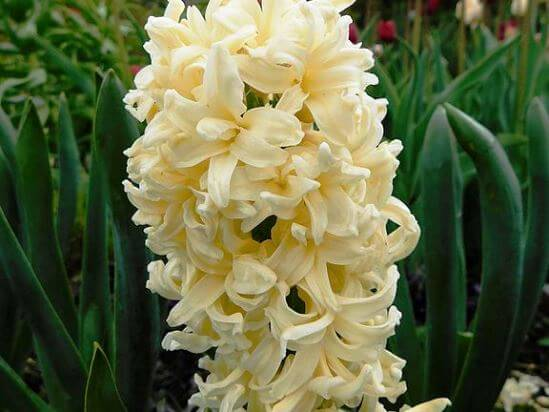 Hyacinthus_Brooklyn.jpg