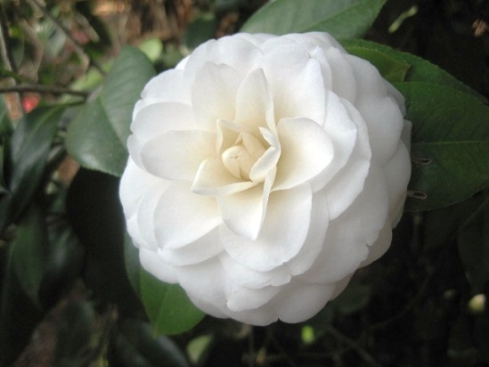 CAMELLIA japonica White by the Gate