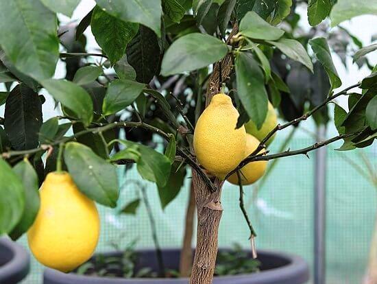 Декоративный лимон фото