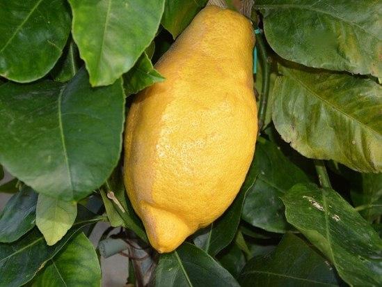 Лимон домашний