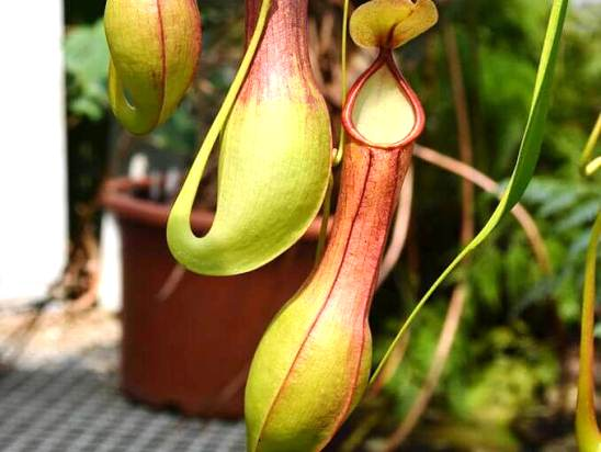 Nepenthes_alata.jpg