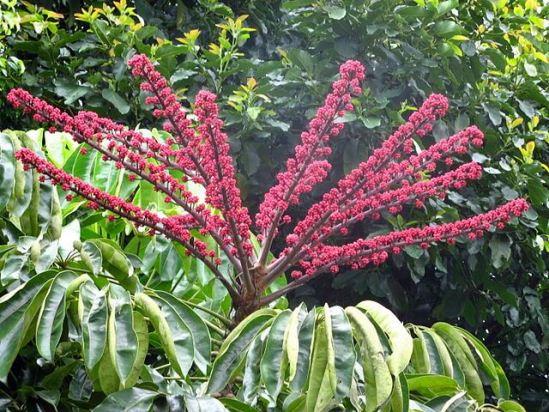 Schefflera_actinophylla.jpg