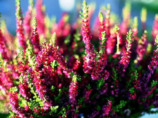 Calluna_vulgaris_Dark_Beauty.jpg