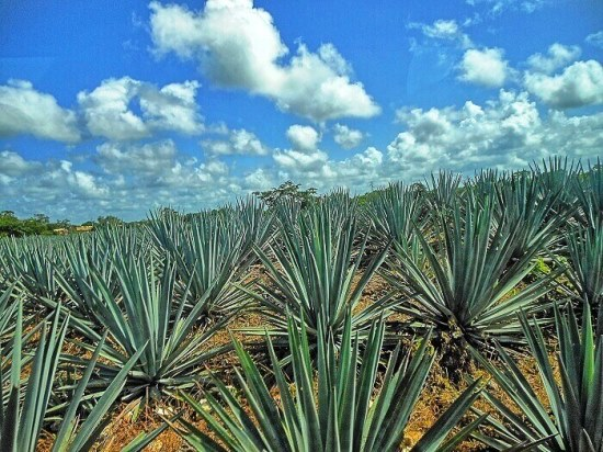 Agave-Tequilana-2.jpg