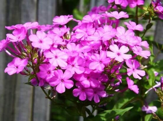 Можно ли выращивать в домашних условиях флоксы?