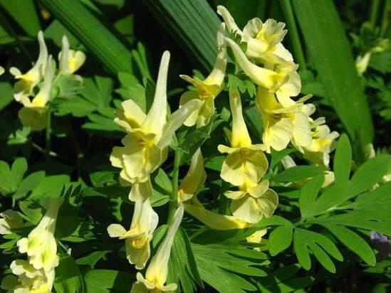 Corydalis large-flowered