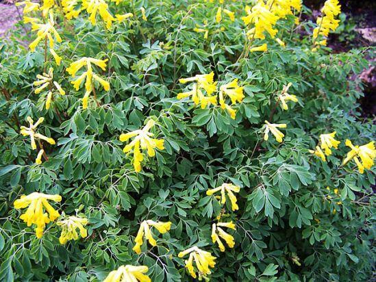 Corydalis yellow