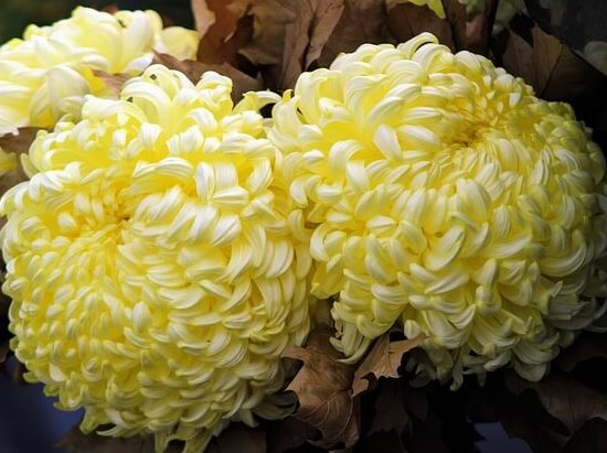 Chrysanthemum02.08_19.jpg