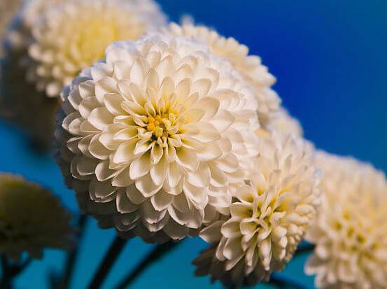 Chrysanthemum02.08_2.jpg