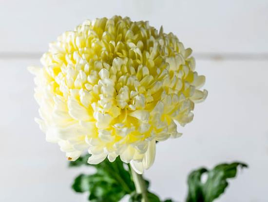 Chrysanthemum02.08_4.jpg