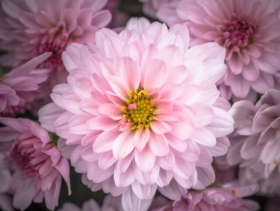 Chrysanthemum02.08_8.jpg