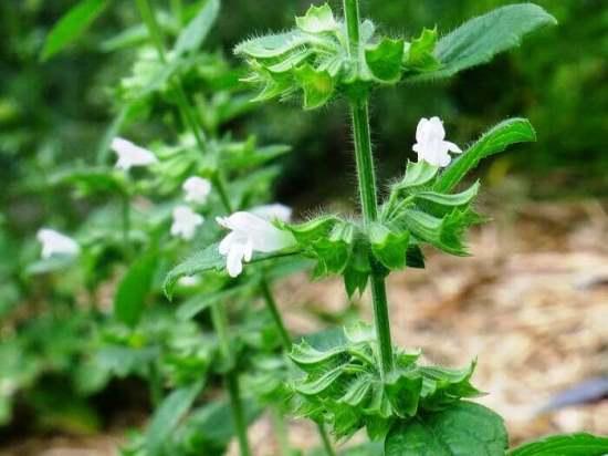 Как выращивать мелиссу в домашних условиях из семян?