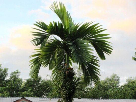 Бетелевая пальма