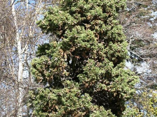 Кипарис вечнозеленыйпирамидальный, колонновидный или итальянский