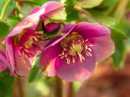 Морозник фото цветов